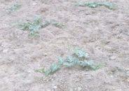 বেড়েছে তরমুজ গাছ ফল না ধরায় বিপাকে চাষিরা
